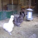Riverslea_chickens