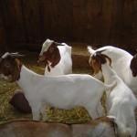 Riverslea_goatgroup