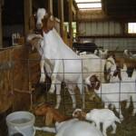 Riverslea_goatsclimbing
