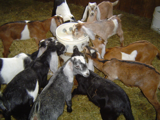 Riverslea_goatsdrinking