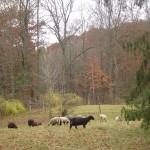 Riverslea_grazing