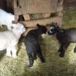Riverslea_lambs2