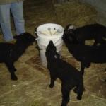 Riverslea_lambsbucketnursing