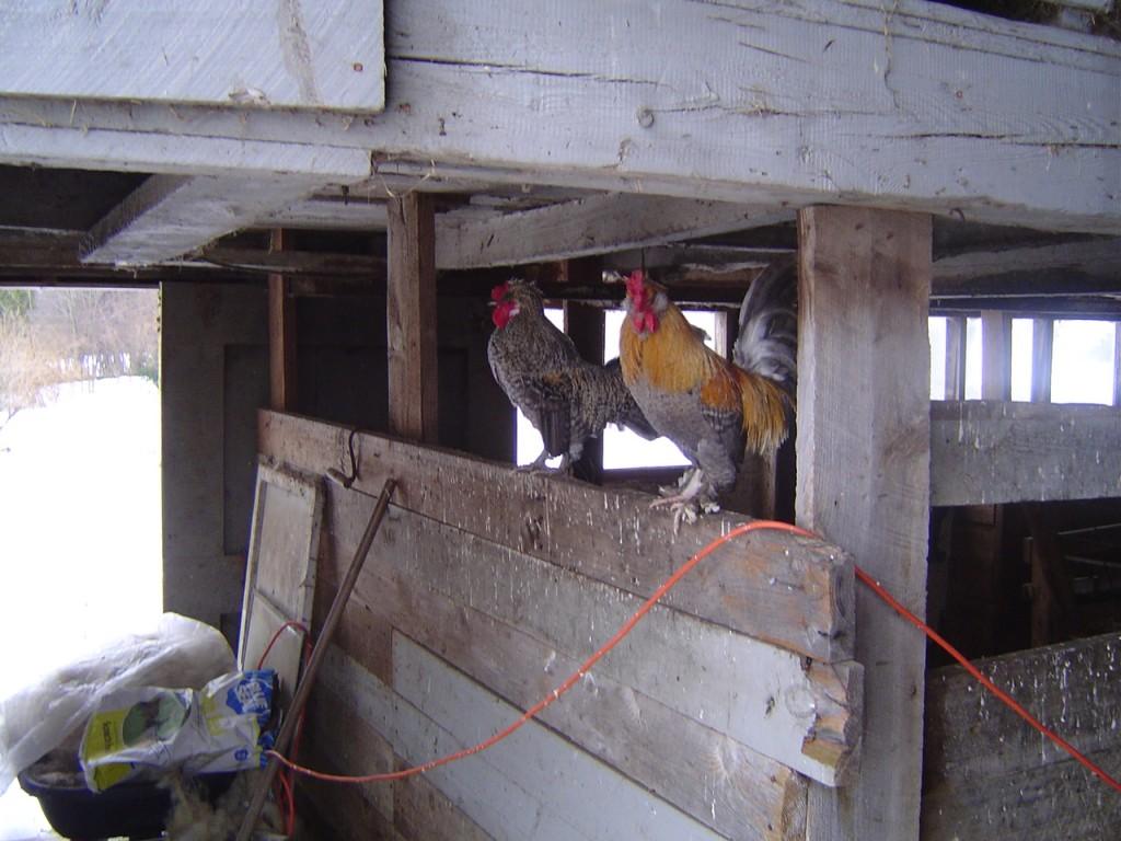 Riverslea_roosters